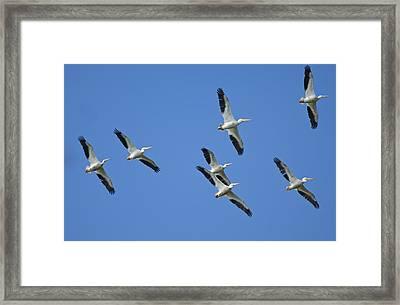 White Pelicans In Flight 1 Framed Print by Patrick M Lynch