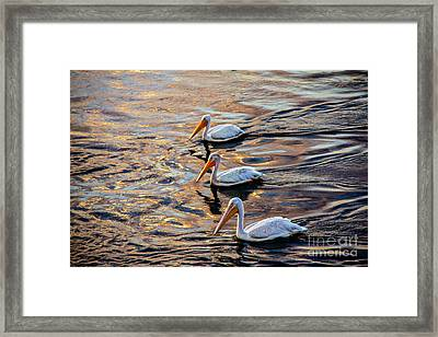 White Pelicans  In Golden Water Framed Print by Robert Bales