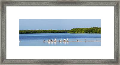 White Pelicans On Sanibel Island Framed Print by Panoramic Images