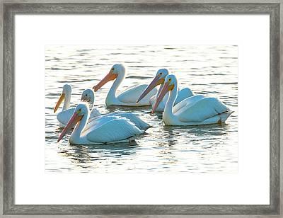 White Pelicans, Pelecanus Framed Print by Maresa Pryor