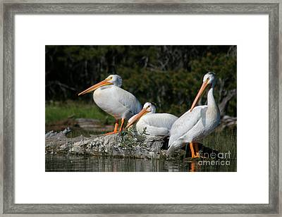 White Pelicans Relaxing In The Sun Framed Print