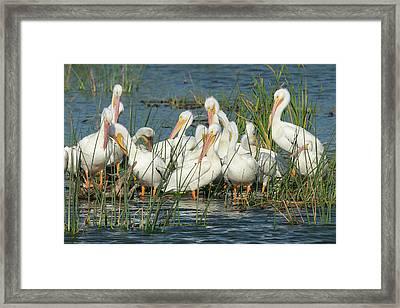 White Pelicans Resting Among Framed Print by Maresa Pryor