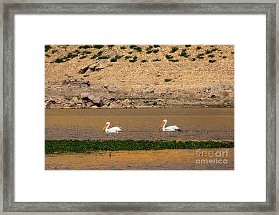 White Pelicans Framed Print by Robert Bales