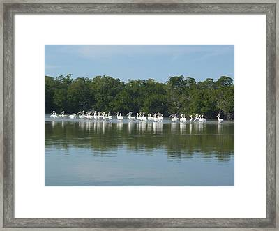 Framed Print featuring the photograph White Pelicans by Robert Nickologianis