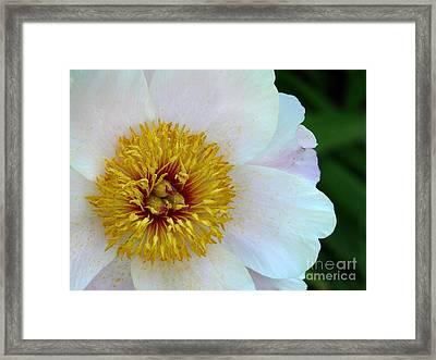 White Peony Framed Print by Avis  Noelle