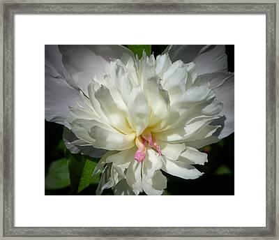 White Peony Framed Print by Elaine Franklin