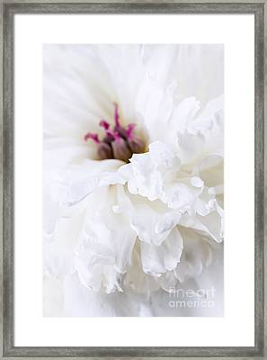 White Peony Flower Close Up Framed Print by Elena Elisseeva