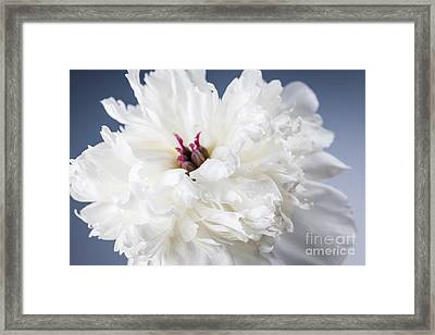 White Peony Flower  Framed Print by Elena Elisseeva