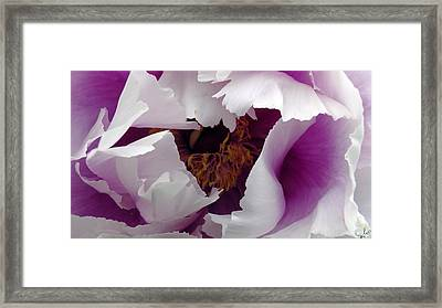 White Peony With Purple Framed Print by Sascha Kolek