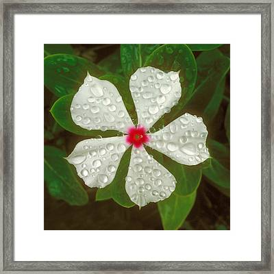 Framed Print featuring the photograph White Periwinkle by Mark Greenberg