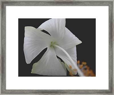 White Petals Framed Print by Rohit Jadav