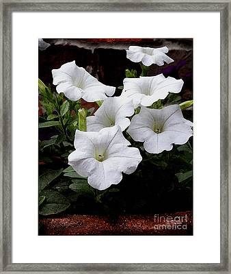 Framed Print featuring the photograph White Petunia Blooms by James C Thomas