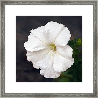 White Petunia Square Framed Print by Sandi OReilly
