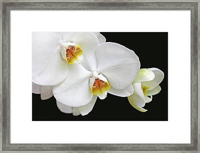White Phalaenopsis Orchid Flowers Framed Print