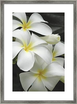 White Plumaria Framed Print