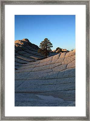 White Pocket Pinyon Framed Print
