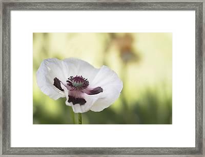 White Poppy Framed Print by Rebecca Cozart