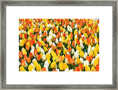White Orange And Yellow Tulips Framed Print by Menachem Ganon