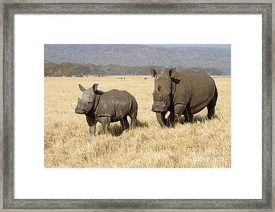 White Rhino Calf Framed Print by Chris Scroggins