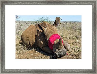 White Rhino Conservation Operation Framed Print by Peter Chadwick