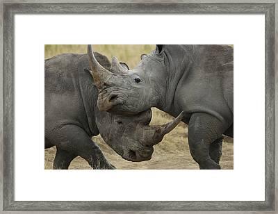 White Rhino Males Fighting Solio Game Framed Print by Hiroya Minakuchi