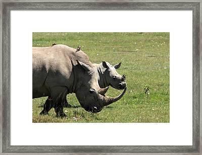White Rhino Mother And Calf Framed Print by Aidan Moran