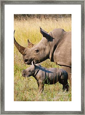 White Rhino Mother And Young Framed Print