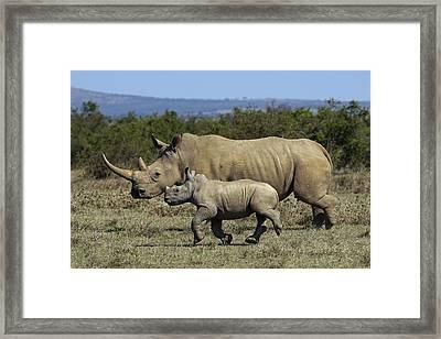 White Rhinoceros And Calf Kenya Framed Print by Hiroya Minakuchi