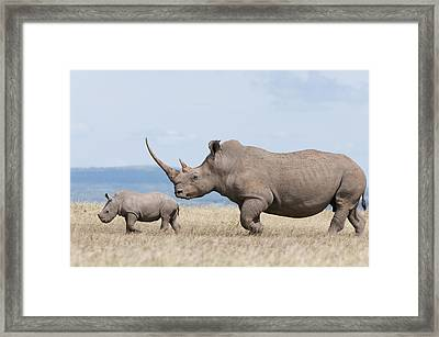 White Rhinoceros And Calf  Kenya Framed Print