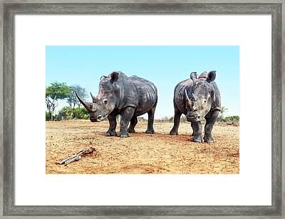 White Rhinoceros Bulls Framed Print by Peter Chadwick
