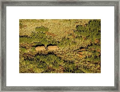 White Rhinoceros (ceratotherium Simum Framed Print by Pete Oxford