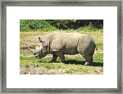 White Rhinoceros Grazing Framed Print by CML Brown