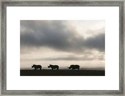 White Rhinoceros Trio At Sunset Kenya Framed Print