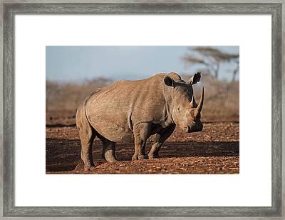 White Rhinocreos Framed Print by Tony Camacho