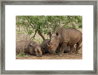 White Rhinos Resting Framed Print by Bob Gibbons