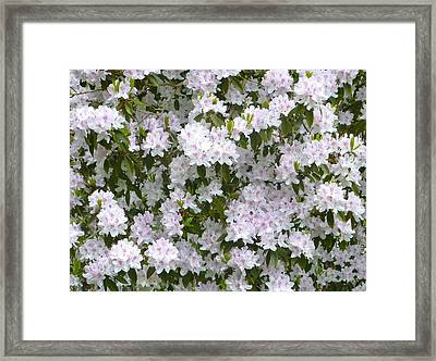 White Rhododendron Blossoms Framed Print by Rob Sherwood