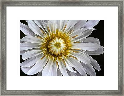White Dandelion - White Rock Lettuce Framed Print