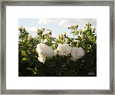 White Rosa Rugosa Framed Print by Beverly Brown