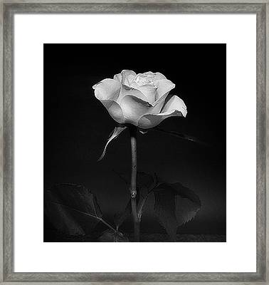 Framed Print featuring the photograph White Rose #02 by Richard Wiggins