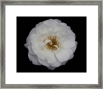White Rose 2 Framed Print by Carol Welsh