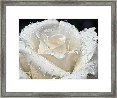 White Rose After The Rain Framed Print