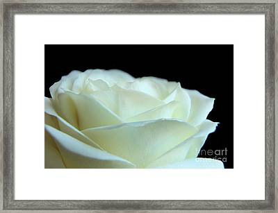 White Avalanche Rose Framed Print by Eden Baed