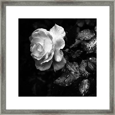 White Rose Full Bloom Framed Print