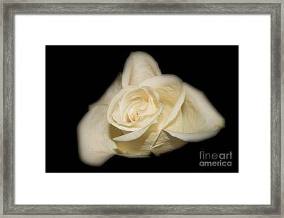 White Rose Framed Print by Michael Waters