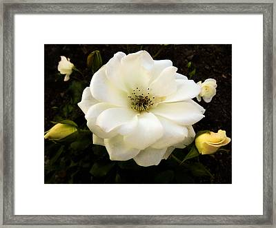 White Rose With Buds Framed Print