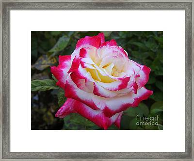White Rose With Pink Texture Hybrid Framed Print