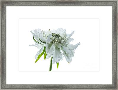 White Scabious 2 Framed Print by Ann Garrett