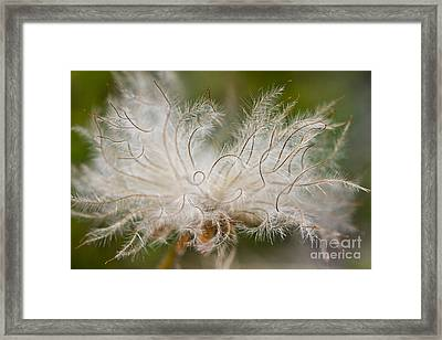 White Seedhad Of Mountain Avens Framed Print