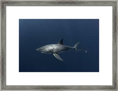 White Shark With Fish Framed Print by David Valencia
