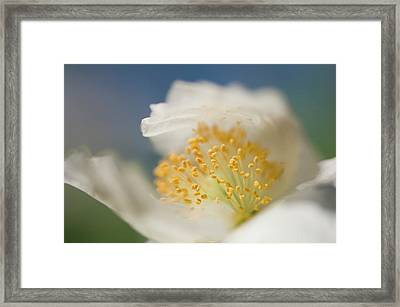 White Shirley Poppy Framed Print by Maria Mosolova